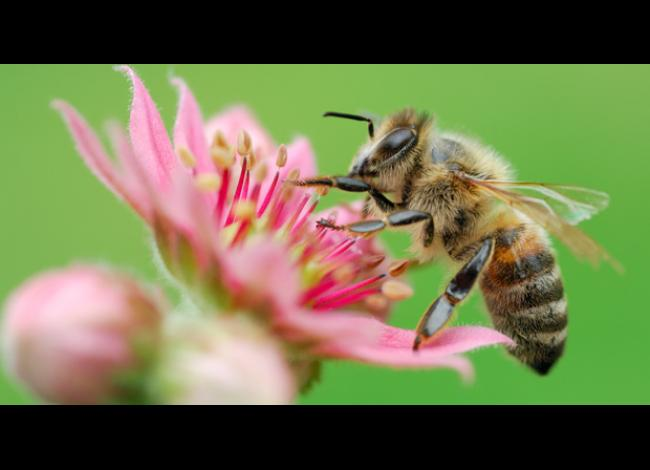 Bee sitting on pink flower
